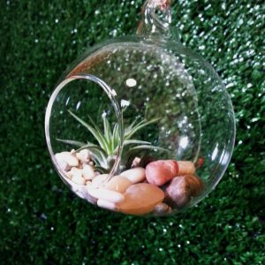 Air plant in hanging globe