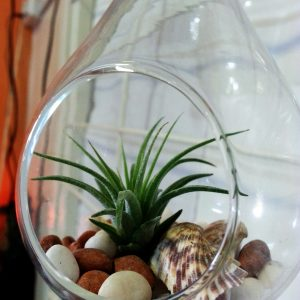 Airplant in water drop glass